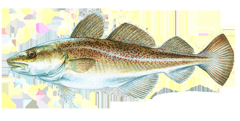 merluzzo-cod