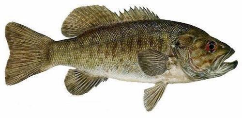 smallmouth-bass-ontario