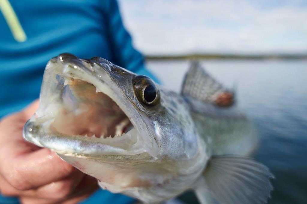 pesce-perca